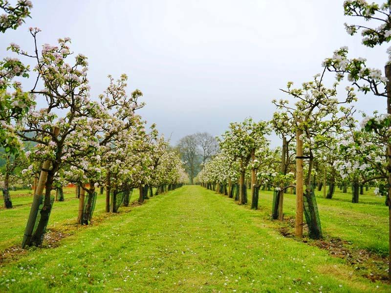 rasadnik sadnica voća